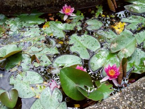 Waterlelies in de Hortus Haren